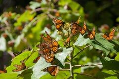 reserv för biosfärfjärilsmexico monark royaltyfri foto