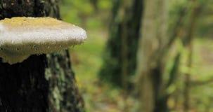 Reserva de la biosfera de Berezinsky, Bielorrusia Hongo de Polypore en tronco de árbol en Autumn Rainy Day Polypores también se l almacen de video