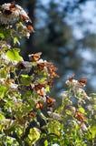 Reserva de la biosfera de la mariposa de monarca, México Imagen de archivo libre de regalías
