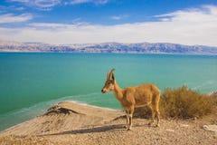 Reserva natural de Ein Gedi e parque nacional Fotografia de Stock Royalty Free