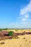 Reserva natural de Sandy com a urze de florescência roxa Fotografia de Stock Royalty Free