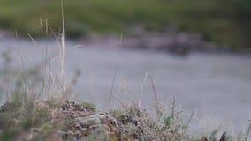 Reserva natural rio Altai da montanha Paisagem bonita nas montanhas rio ?spero, o conceito da liberdade video estoque