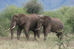 Reserva Tarangire Tanzania África de los elefantes fotos de archivo