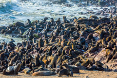 Reserve fur seals. In Namibia, Cape Cross royalty free stock photo