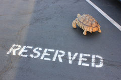 Reserved Parking for Herman. Herman, a 41-pound African Spurred Tortoise (geochelone sulcata), finds his own parking place in downtown Bend, Oregon stock photo