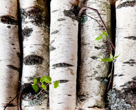 Reserves of birch logs Stock Image