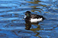 Reservoir. The duck crested to blacken. To blacken a crested small duck, black from above, with white sides that especially is evident on water. Her still call stock photo