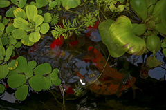 In the reservoir float red fish, look through the water lilies Royalty Free Stock Photography