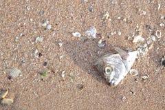 Reses muertas de pescados muertos Fotos de archivo libres de regalías