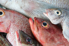 Reses muertas frescas de peces marinos antes de cocinar Imagenes de archivo