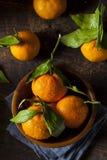 Resfreshing Organic Mandarin Orange Stock Image