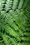 Аresh green fern leaves Royalty Free Stock Photos