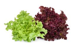 Resh red and green coral salad or red lettuce isolated on white stock image