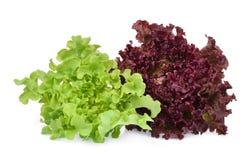 Resh zieleni i czerwieni koralowa sałatka lub czerwieni sałata odizolowywająca na bielu obraz stock
