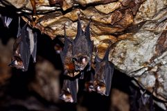 Resident of Ear Cave in Pahang National Park, Malaysia. Royalty Free Stock Photography