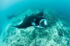 Manta Rays Cruising Over Cleaning Station royalty free stock image
