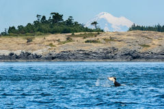 A resident Orca off Vancouver Island - BC - Canada Royalty Free Stock Photo