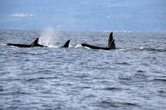 Pod of Resident Orcas of the coast near Sechelt, BC. Resident pod of Orca`s aka Killer Whales, of the coast of British Columbia Canada, near the down of Seschelt royalty free stock images