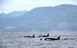 Pod of Resident Orcas of the coast near Sechelt, BC royalty free stock photo