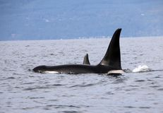 Pod of Resident Orcas of the coast near Sechelt, BC stock photo