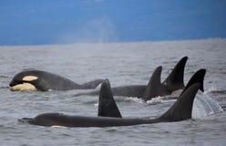 Pod of Resident Orcas of the coast near Sechelt, BC royalty free stock photo