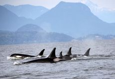 Pod of Resident Orcas of the coast near Sechelt, BC. Resident pod of Orca`s aka Killer Whales, of the coast of British Columbia Canada, near the down of Seschelt royalty free stock photography