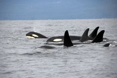 Pod of Resident Orcas of the coast near Sechelt, BC. Resident pod of Orca`s aka Killer Whales, of the coast of British Columbia Canada, near the down of Seschelt royalty free stock photos