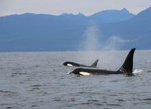 Pod of Resident Orcas of the coast near Sechelt, BC stock photos