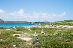 Resident population of atoba birds in Abrolhos archipelago, Bahia, Brazil royalty free stock photos