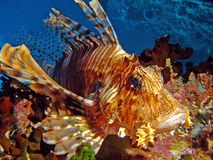 Resident red Sea royalty free stock photo