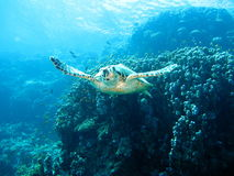 Resident  red Sea. Resident Red Sea ,sea ​​turtle,punished , Marine life Stock Photos