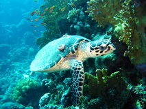 Resident  red Sea. Resident Red Sea ,sea ​​turtle,punished , Marine life Stock Photography