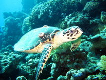 Resident  red Sea. Resident Red Sea ,sea ​​turtle,punished , Marine life Royalty Free Stock Photo