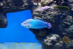 Checkerboard wrasse fish. stock photography