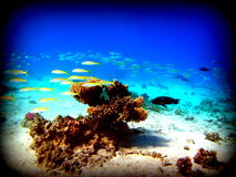 Resident  red Sea Royalty Free Stock Photos
