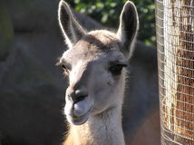 Resident of the San Diego Zoo - Lama. Lama close-up currently at the San Diego Zoo royalty free stock photos