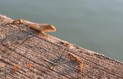 Residenti del cammuffamento del camaleonte da sopravvivere a in natura Fotografia Stock