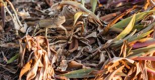 Residenti del cammuffamento del camaleonte da sopravvivere a in natura Fotografia Stock Libera da Diritti