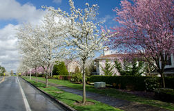 Residential street in Seattle suburbs with blooming cherry trees Royalty Free Stock Photo
