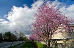 Residential street in Seattle suburbs with blooming cherry trees Stock Photo