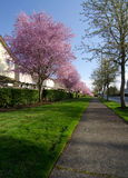 Residential street in Seattle suburbs with blooming cherry trees Stock Images