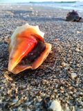 Residing In A Shell. A snail living inside of this vibrant orange conch shell on the coarse grains of sand at the beach with another shell in the background Stock Photos