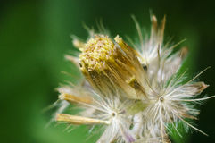 Residual fruit of Tridax procumbens L. after achene dispersal on Stock Image
