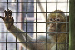 Resigned expression. Female monkey looking straight to the camera with resigned expression Royalty Free Stock Images