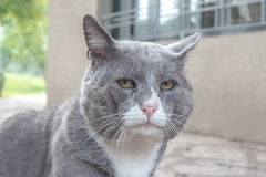 A resigned old cat. A flurry cat in the backyard of a house Royalty Free Stock Photography