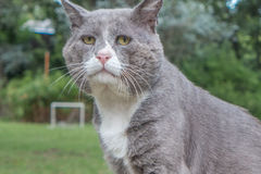 A resigned old cat. A flurry cat in a green garden blurred in the background Royalty Free Stock Image