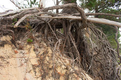 Resiliance. Some tree roots supporting a huge pine tree after the sand bank has been erroded away from the storms Stock Photo