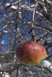 Resilience. An apple that continues to endure the harshest winter months Royalty Free Stock Images
