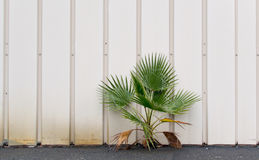 Resilience. Palm tree emerging from a crack between steel wall and concrete pavement royalty free stock image