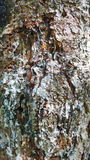 Resin covered pine bark Stock Images